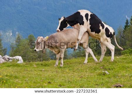 Про секс с коровой