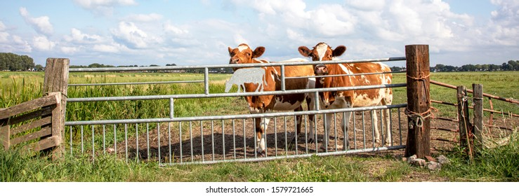 Two young cows behind an iron gate, together standing in a green pasture, next to each other with at the background a blue sky.