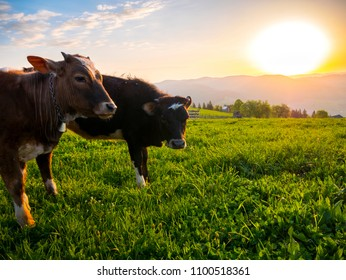 Two young cows enjoying the sunrise on a mountain area from Bucovina, a northern region from ROMANIA.
