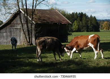 Two young cows playing in the field near the farm