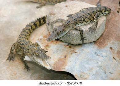 Two young crocodiles