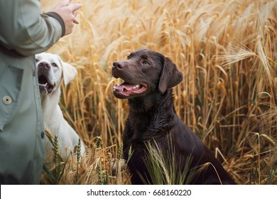 two young cute labrador retriever puppies in the dog school listening to a commando
