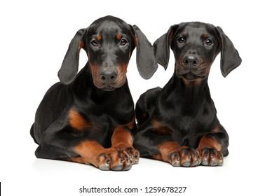 Two young Doberman puppies lie on a white background. Animal themes