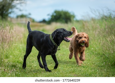 Two young dogs playing together in a field during their walk in the countryside