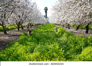 Two young dogs running in the tall grass among several mature almond trees in full bloom.