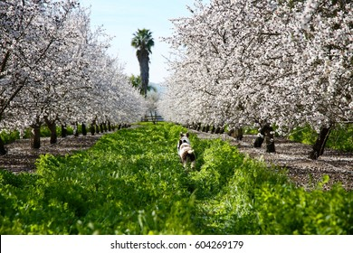 Two young dogs running through tall grass in the middle of an almond orchard in full bloom.