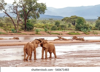 Two young elephant bulls play fighting at Samburu National Reserve, Kenya