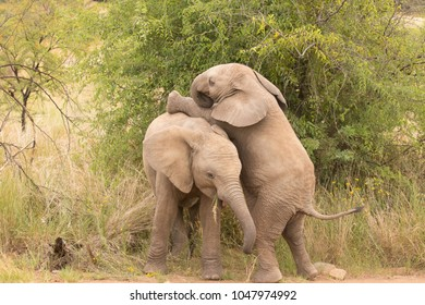 Two young elephants ( Loxodonta Africana) playing, Pilanesberg, South Africa.