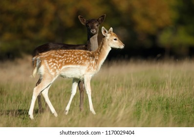 Two young Fallow deer grazing in the meadow, autumn in UK