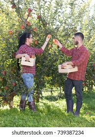 Two young farmers picking apples from trees in orchard in autumn