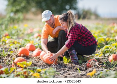 Two young farmers picking  pumpkins at field - Thanksgiving and Halloween preparation