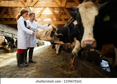 Deux jeunes fermiers touchant des vaches laitières pendant leur travail dans une ferme à attelages contemporaine