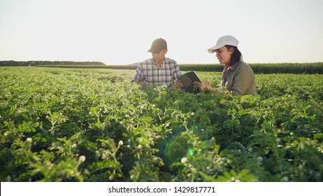 Two young farmers working in a chickpea field, talk and use the tablet