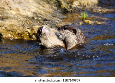 Two young fish otters are playing together in the water