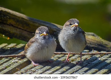 Two young fledgling house sparrows (Passer domesticus), cute baby birds on gray wood, selected focus