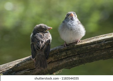 Two young fledgling house sparrows (Passer domesticus), cute baby birds on a branch against a blurry green background, copy space, selected focus, narrow depth of field