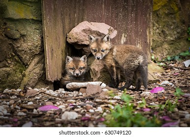 Two young foxes in front of their den
