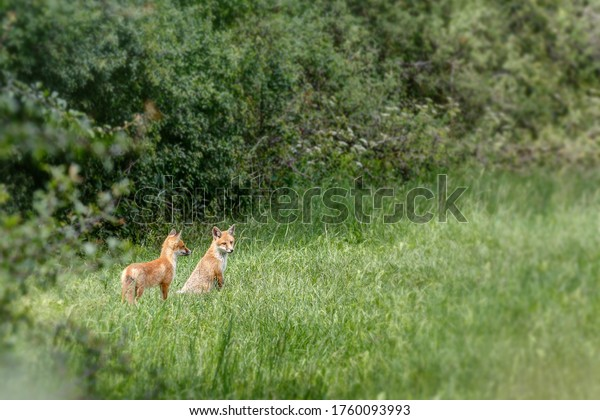 Two young foxes are sitting near the bushes in the meadow and watching the surroundings and gathering their first impressions of the new big world.