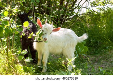 Two young goats eat tree leaves in a pasture.Russia.