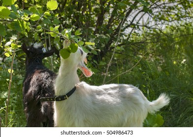 Two young goats eat tree leaves in a pasture.