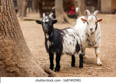 two young goats on a farm