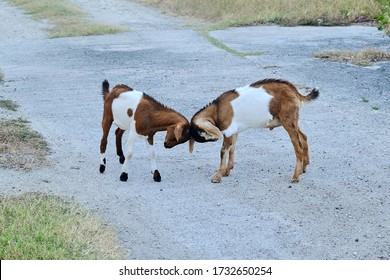 Two young goats playing headbutt