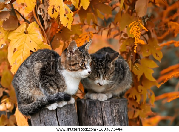 Two young gray striped cats, with brown eyes, are sitting on a stump in a bright autumn garden. Portrait of pets, outdoors, in the village.