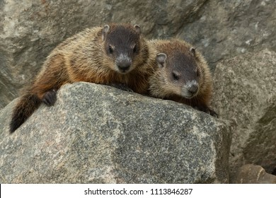 Two young Groundhogs resting on a rock looking down. Also known as a Wood Chuck. Rouge National Urban Park, Toronto, Ontario, Canada.