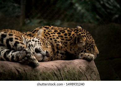 two young jaguars sleeping on a rock