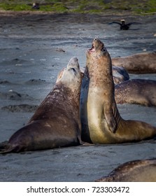 Two young juvenile elephant seals battle for territory