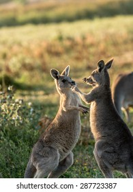 Two young kangaroos are playing together though it also looks like they are box fighting like two boxers.