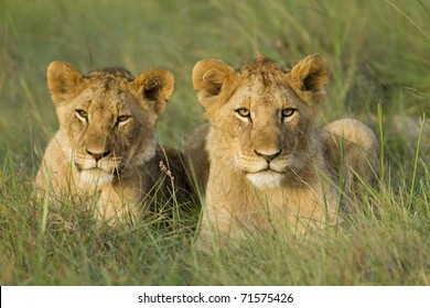 Two young lion cubs resting on a open grassland.