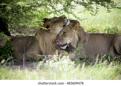 Two young lions sitting and giving cuddles to each other in the bush of Moremi Game Reserve in Botswana. The Untouched safari paradise in Africa
