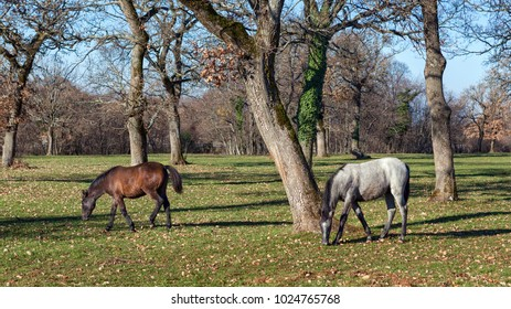 Two young lipizzaner horses grazing in country meadow among oak trees; location Lipica, Slovenia. Lipizzan horses are dark while young and turn to completely white at around age of seven years.