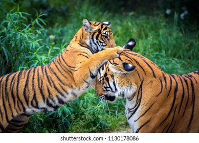 Two young malayan tigers  fighting in a forest