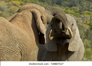 Two young male elephants playing at a water hole on a hot summers day
