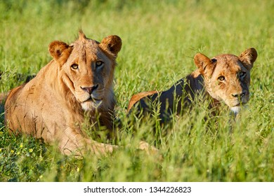 Two young male lions in Kruger national park