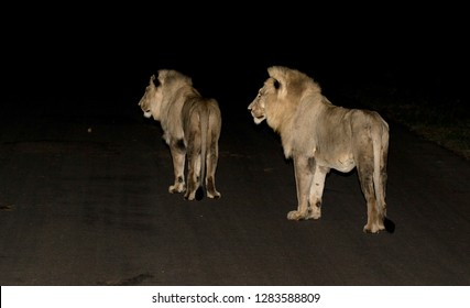 Two young male Lions (Panthera Leo) in Kruger National Park in South Africa. Standing on the road during the night.
