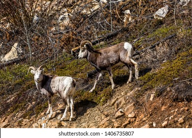 Two young male Stone Sheep (possibly dark-furred Dall's Sheep) standing on a slope in the wilderness of the Yukon Territory of Canada.