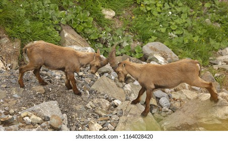 Two young males of alpine ibex in duel, view from close-up