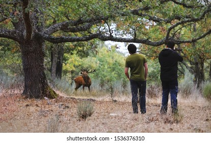 Two young males (unshown face) watch and photograph red deers in the middle of the forest in autumn. People watching animals. Concept of wildlife observation, deer hunting or nature photography.