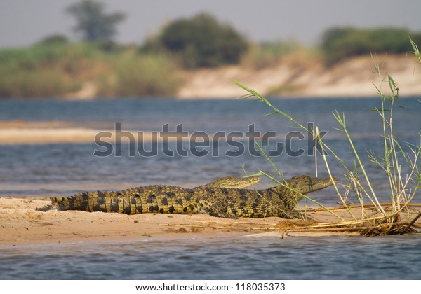 Two young nile crocodiles resting on a sand bank next to the Zambezi River, Caprivi