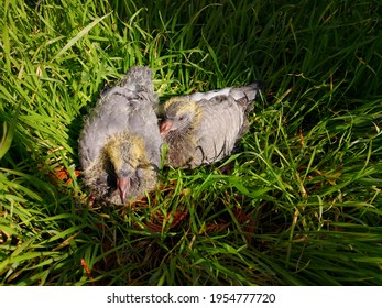 Two young pigeon chicks with grey feathers and still yellow down sitting in the grass side by side. Lovely funny baby doves with shiny eyes. Image of friendship and confidence