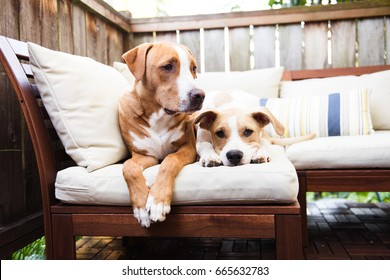 Two Young Pit Bull Mixes Playing Patio Furniture
