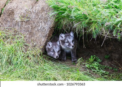 two young playful arctic fox cub in front of their lair