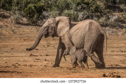 Two young playful elephants running together