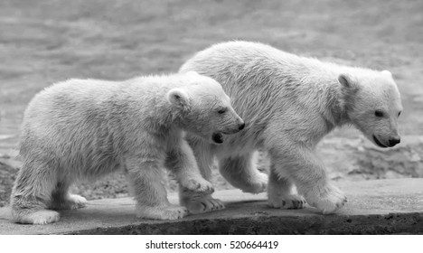 Two young polar bear cubs in quest of adventure. Black and white image.