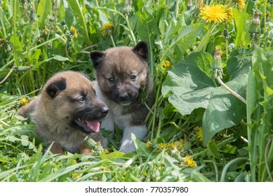 Two young puppies of Siberian dogskin on green grass with dandelions in summer