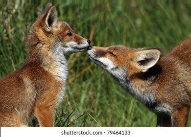 Two young red foxes with there nose to each other