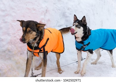 two young siberian husky sled dogs on snow background